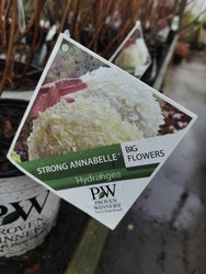 "Vidjehortensia, Hydrangea arb. ""Strong Annabelle"""