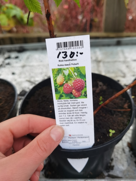 "Hösthallon, Rubus i. ""Polka"""