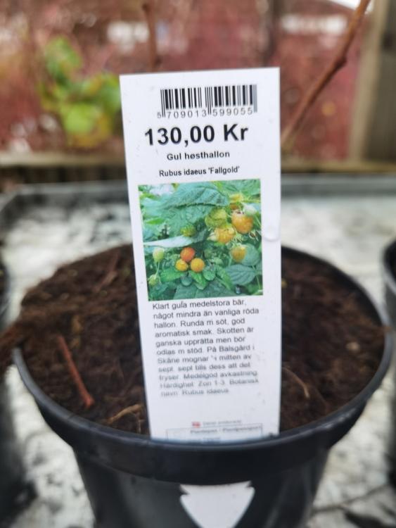 "Hösthallon, Rubus i. ""Fallgold"""