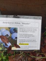 """Amerikanska blåbär, Vaccinium c. """"Meader"""""""