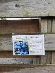 """Amerikanska blåbär, Vaccinium c. """"Chanticleer"""""""