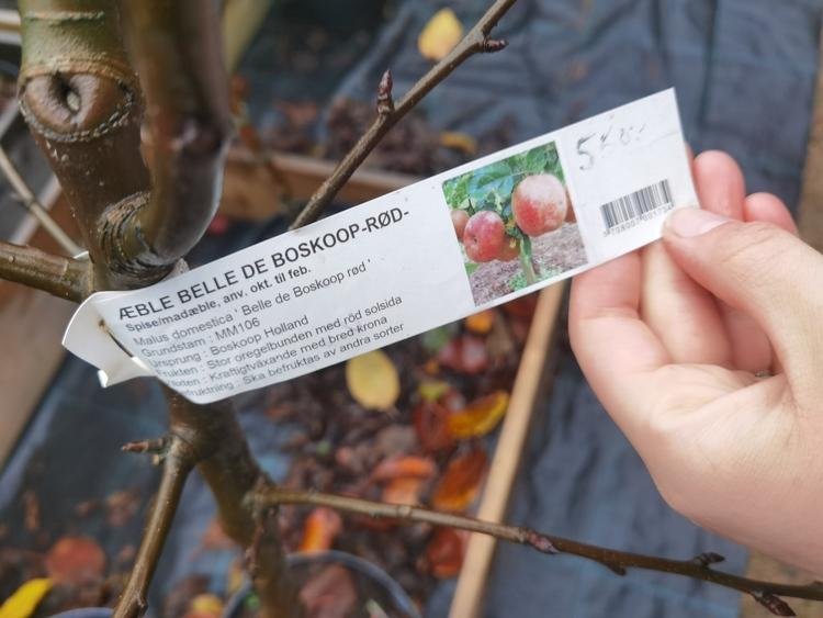"""Äppelträd, """"Belle de Boskoop"""" Röd"""