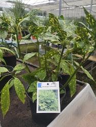 """Aucuba, Aucuba jap. """"Crotonifolia"""""""