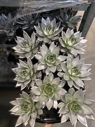 Echeveria, silver