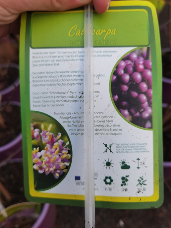 Glasbärsbuske