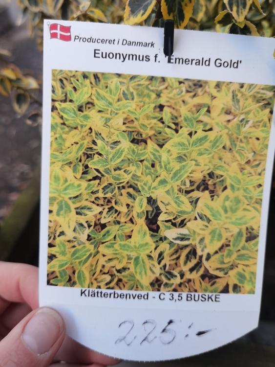 "Benved, Euonymus f. ""Emerald Gold"""