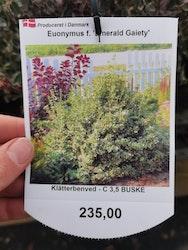 "Benved, Euonymus f. ""Emerald Gaity"""