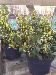 "Benved, Euonymus f. ""Blondy"""