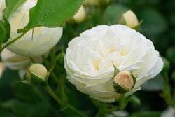 """Rose """"Artemis"""""""
