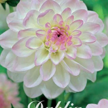 """Dahlia """"Eveline"""""""