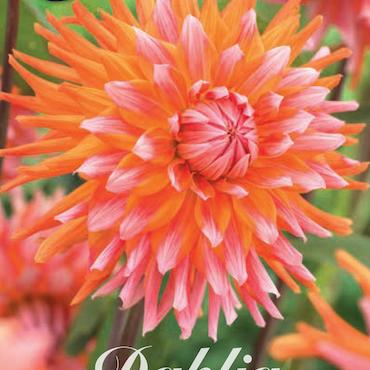 """Dahlia """"Orange Turmoil"""""""