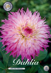 "Dahlia ""Pinelands Princess"""