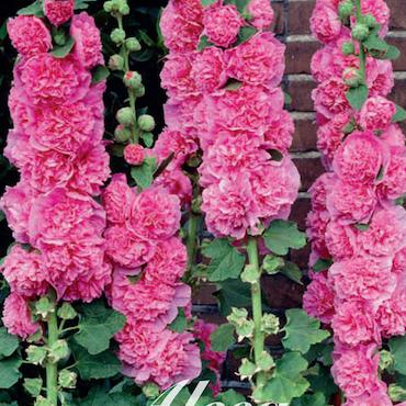 Stockros - Rosa