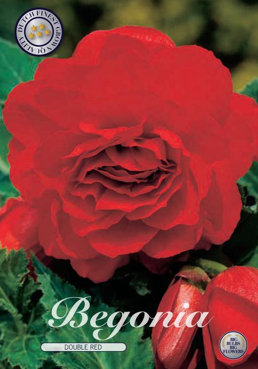 Begonia - Röd