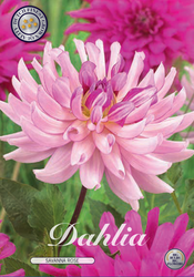 "Dahlia ""Savanna Rose"""