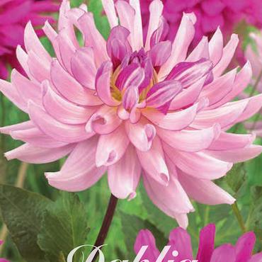 "Dahlia ""Savanna Rose"""