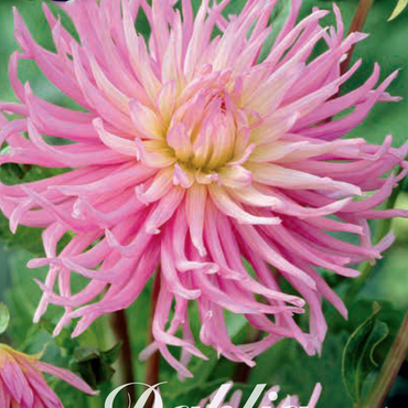 """Dahlia """" Star´s Favourite"""""""