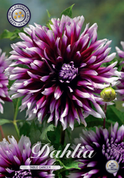 "Dahlia ""Table Dancer"""