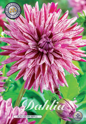 "Dahlia ""Blackberry Ripple"""