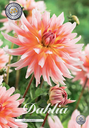 "Dahlia ""Okapi Sunset"""