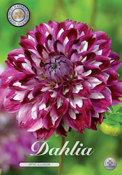 "Dahlia ""Optic Illusion"""