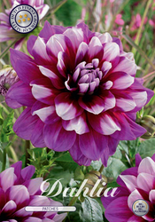 "Dahlia ""Patches"""