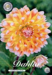 "Dahlia ""Peaches & Cream"""