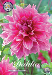 "Dahlia ""Penhill Dark Monarch"""
