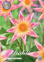 "Dahlia ""Fancy Pants"""