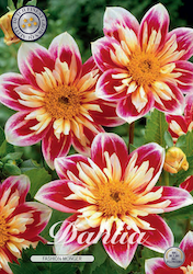 "Dahlia ""Fashion Monger"""
