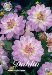 "Dahlia ""Twilight Time"""