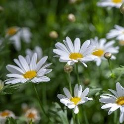 Prästkraga - Ox eye daisy
