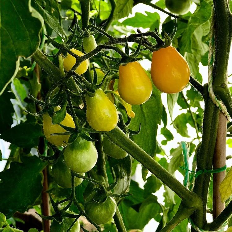 Pärontomat - Yellow Cherry Bell