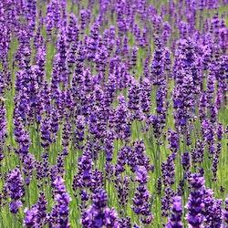 Lavendel - Enligsh