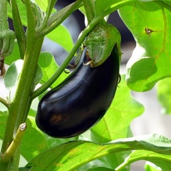 Aubergine - Black Beauty