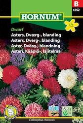 Dvärg Aster mix - Dwarf