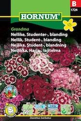 Student nejlika, mix - Grandma
