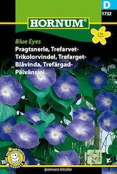 Trefärgad Blåvinda - Blue Eyes