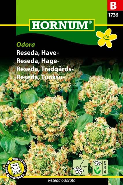 Trädgårdsreseda - Odora