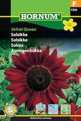 Solros - Velvet Queen