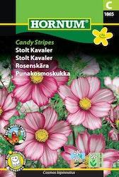 Rosenskära - Candy Stripes