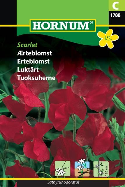 Luktärt - Scarlet