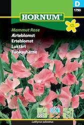 Luktärt - Mammut Rose