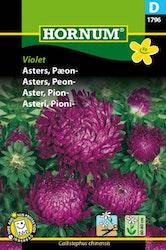 Pionaster - Violet