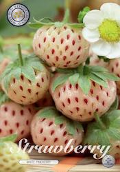 """Jordgubbe """"White Pineberry"""" - Knöl"""