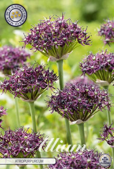 "Vinlök ""Allium Atropurpureum"", 5 st./förpack."