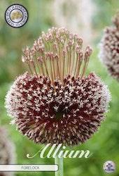 "Allium ""Forelock"", 1 st./förpack."