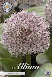 """Boll lök, Allium """"Karataviense"""", 5 st./förpack."""