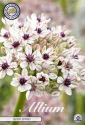 "Allium ""Silver Spring"", 1 st./förpack."