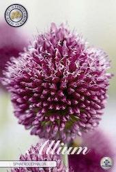 Klotlök, Allium Sphaerocephalon, 20 st./förpack.